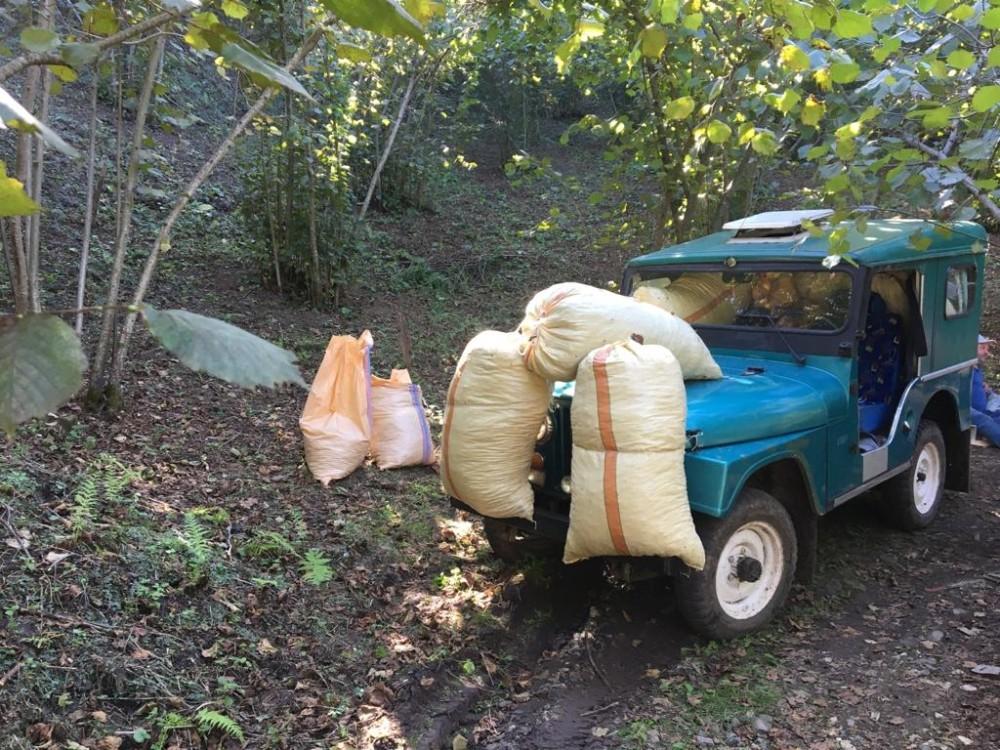 Hasat edilen fındık, eski arazi cipleri ile taşınıyor