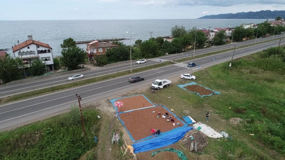Karadeniz Sahil Yolu kenarları, fındık harmanı oldu