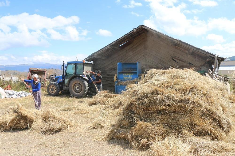 Ordu'da buğday hasadı
