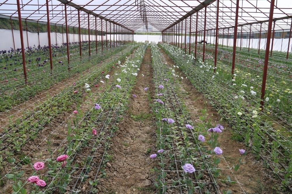 Ordu'da lishianthus çiçeği hasadı