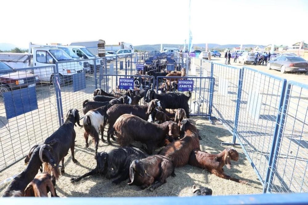 Ordu'da çiftçilere Halep keçisi dağıtıldı