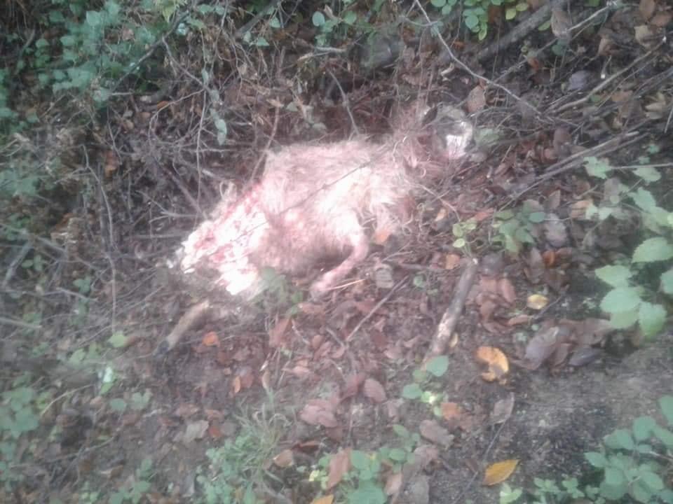 Kurtlar sürüye saldırdı: 10 koyun telef oldu
